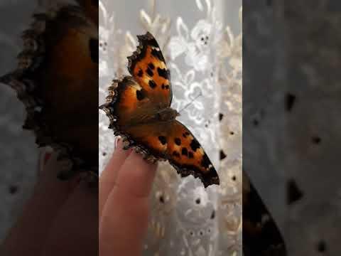 Приметы о бабочках и их расшифровка