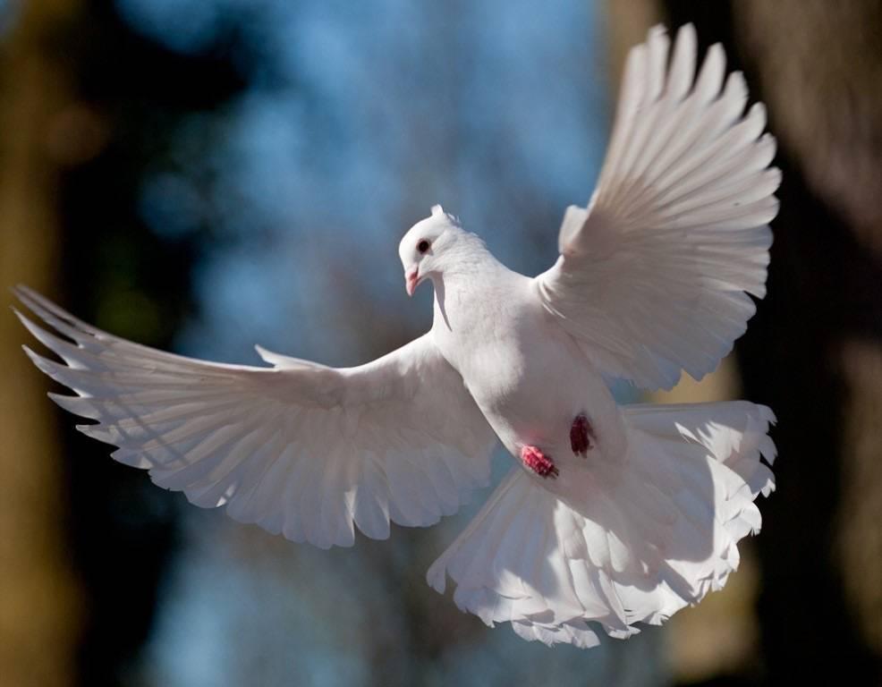 К чему снится голубь? толкование по 67 сонникам