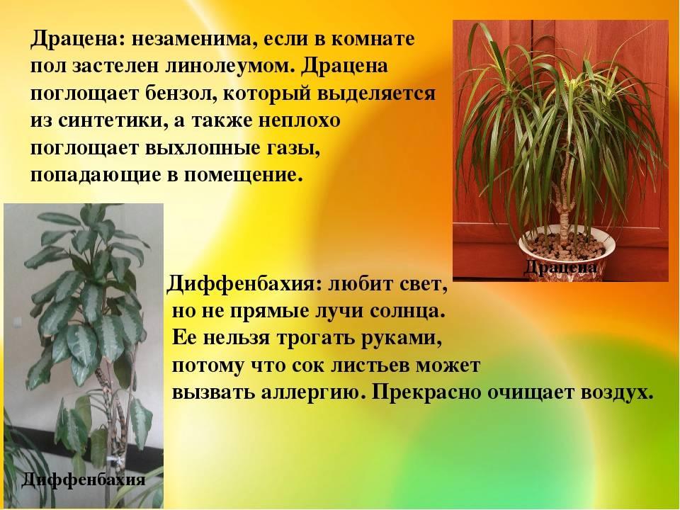 Драцена: приметы и суеверия для дома