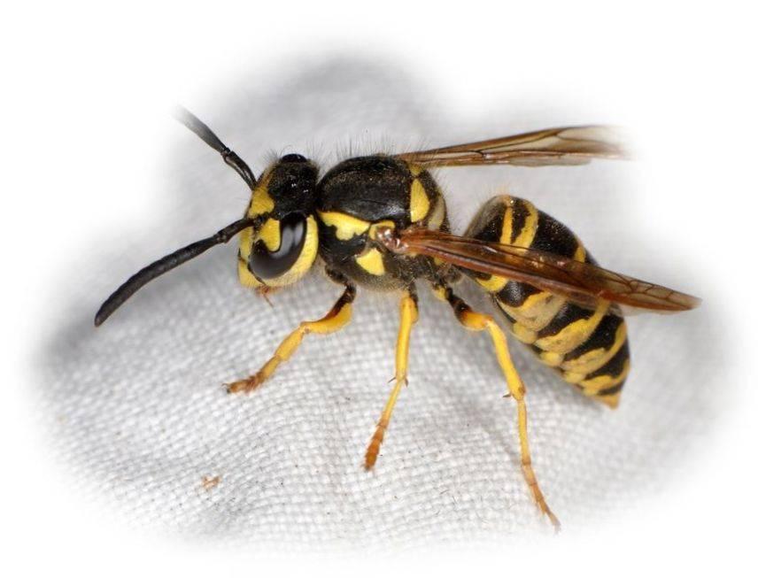 К чему снятся осы ???? во сне, укус осы - сонник ????, осиное гнездо - толкование сна