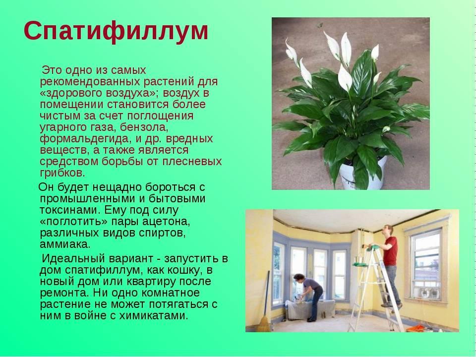 Цветок женское счастье - 25 примет для женщин и мужчин (спатифиллум в доме)