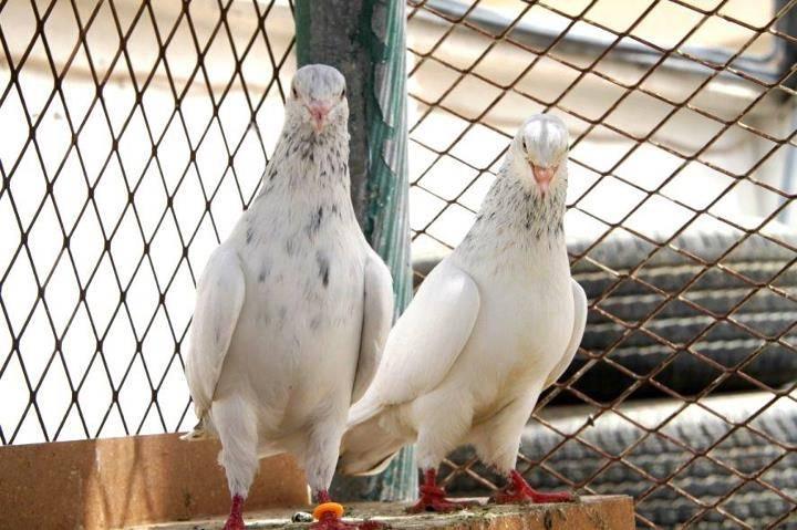 Сонник белый голубь в клетке. к чему снится белый голубь в клетке видеть во сне - сонник дома солнца