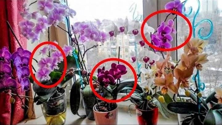 Можно ли держать орхидею дома или нет? влияние на человека, расположение и поверья