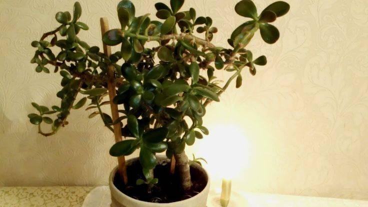 Где должно стоять денежное дерево в доме: куда лучше поставить цветок в квартире, можно ли или нет держать толстянку в спальне или расположить на подоконнике? selo.guru — интернет портал о сельском хо