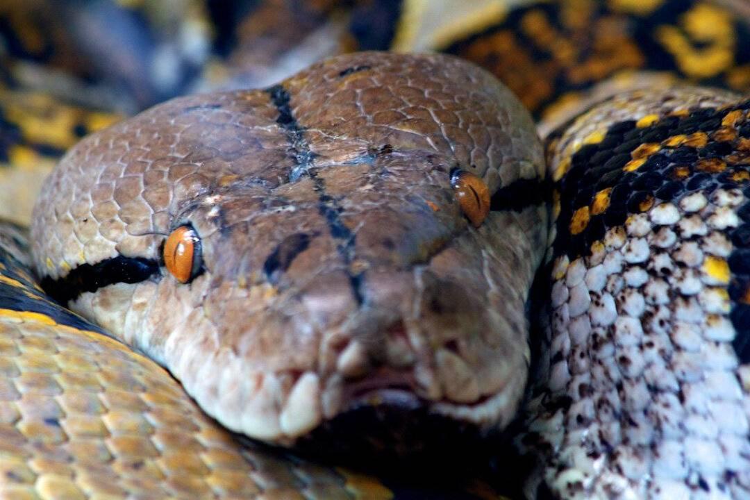 Кчему снится змей большой. приснилась анаконда, питон, удав, кобра: точные значения
