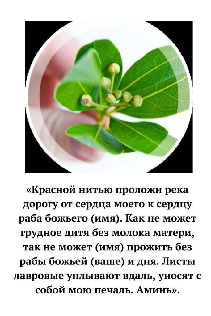 Лавровый лист для привлечения денег. заговоры на лавровый лист на деньги, на желание. лавровый лист в кошельке. * vsetemi.ru