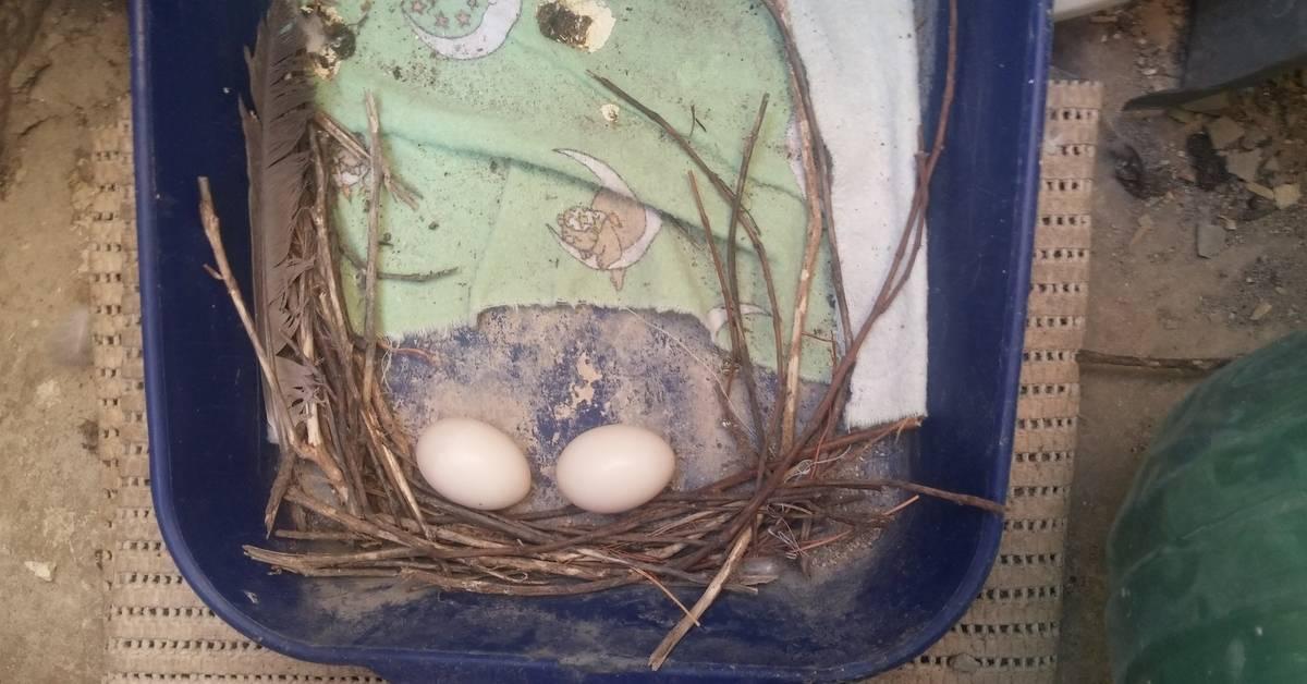 Голуби свили гнездо на балконе что делать