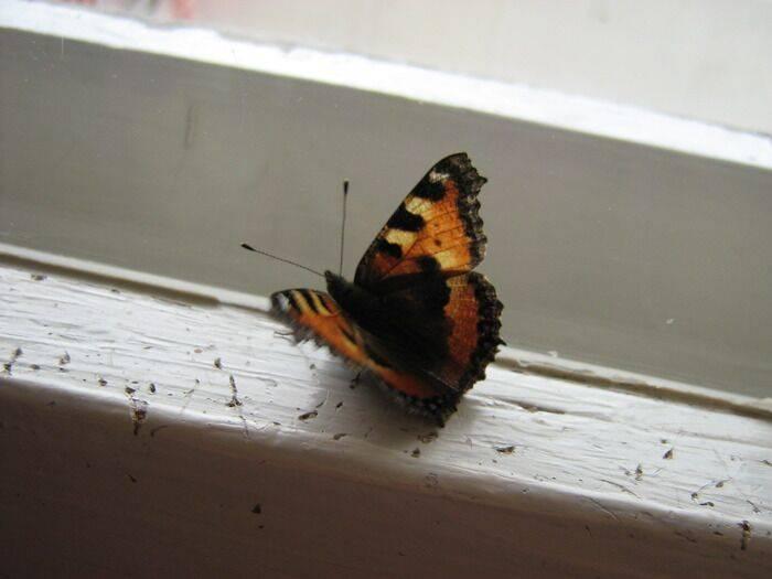 Бабочка залетела в дом или квартиру: толкование приметы