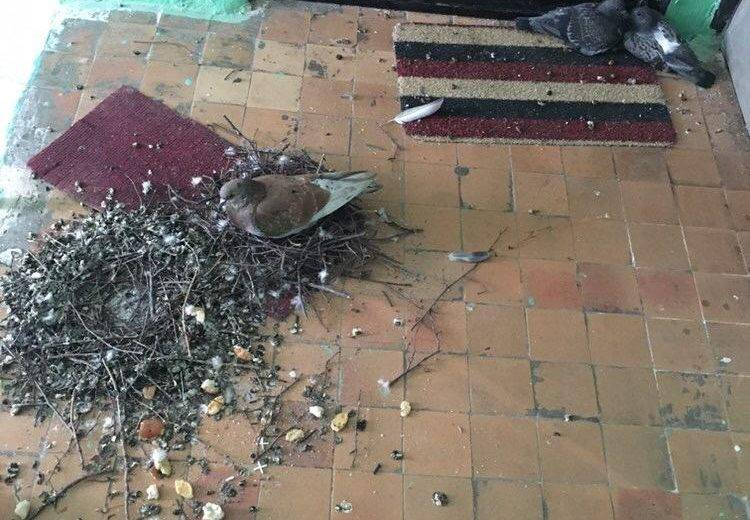 К чему залетает голубь на балкон