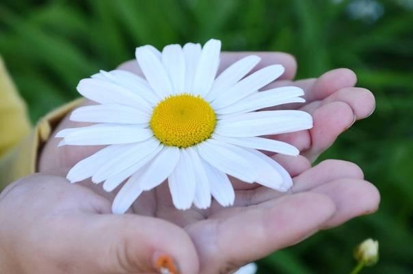 29 мая – день гадания на ромашках: открытки, картинки о ромашках, гаданию на ромашке – интересные цветочные гадания