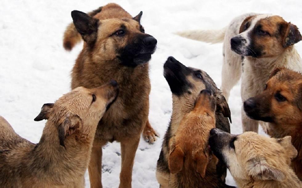 Сонник напала стая собак. к чему снится напала стая собак видеть во сне - сонник дома солнца