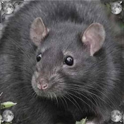 Что значит сон про крысу с крысятами — 30 значений