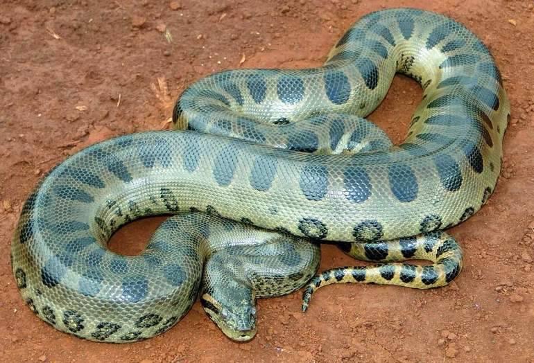 Сонник питон змея. к чему снится питон змея видеть во сне - сонник дома солнца