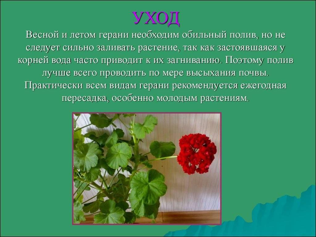 Герань: приметы и суеверия для дома, связанные с растением