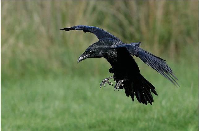 Ворона на крыше дома. примета — каркает ворона. другие приметы о воронах