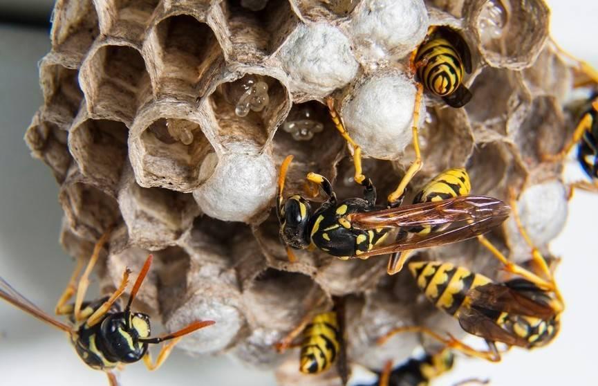 Сонник к чему снятся осы