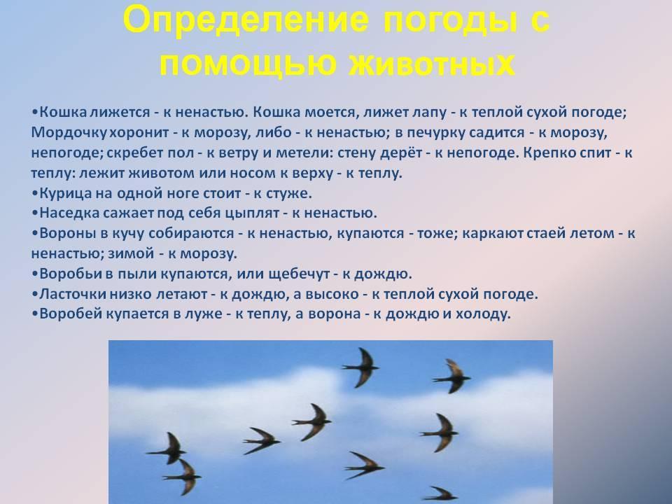 ᐉ почему ласточки летают низко или высоко: значение примет - taro1.ru