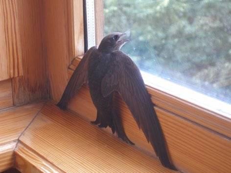 Ласточка залетела в окно примета что. ласточка залетела в дом