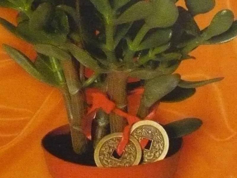 Как садить денежное дерево, чтобы приносило деньги?