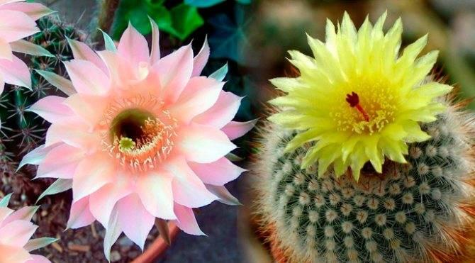 Зацвёл кактус: значение и толкование примет и суеверий