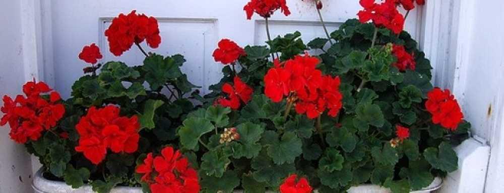 Хорошо или плохо иметь бегонию в доме - 48 примет и суеверий (значения по цветку, фен шуй)