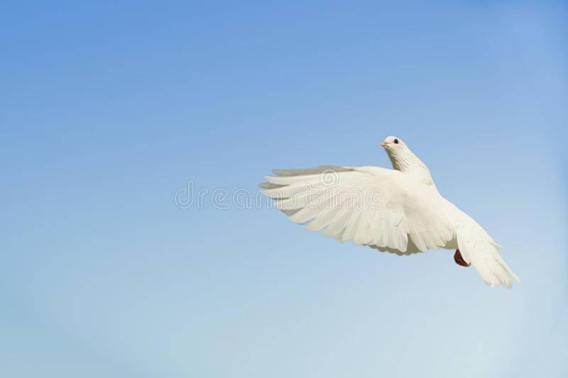 Сонник белый голубь