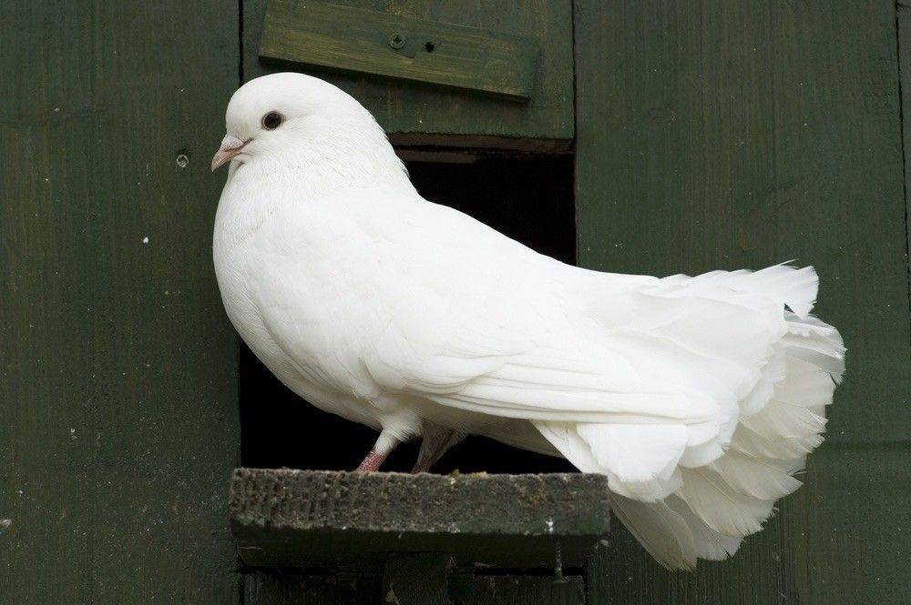 К чему снится голубь по соннику? видеть во сне голубя – толкование снов.
