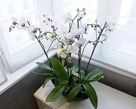 Можно ли держать в доме орхидею: народные приметы и суеверия