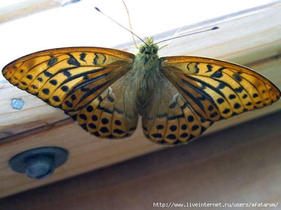 Приметы о бабочках в доме