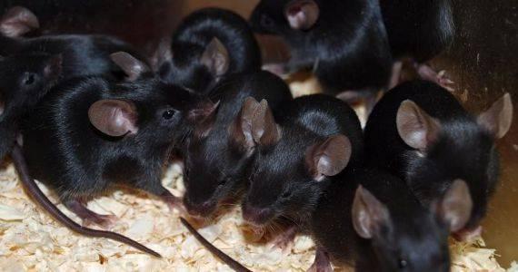 К чему снится крыса женщине или мужчине - толкование сна по сонникам