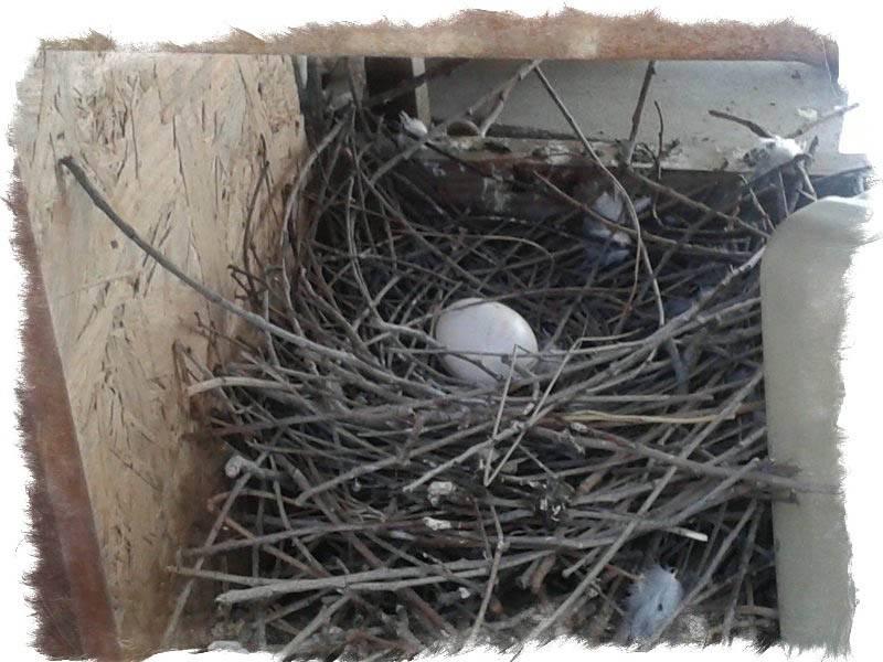 Примета: птицы свили гнездо на балконе или под крышей дома, дачи, участка - что ожидать, если птенчек упал из гнезда