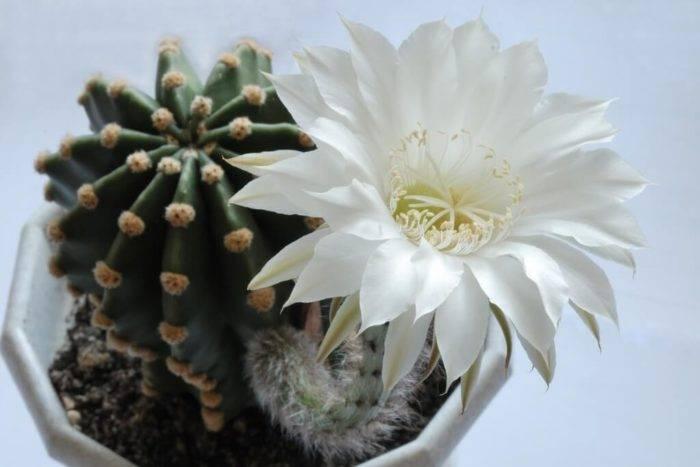 Зацвел кактус в доме: народные приметы и суеверия