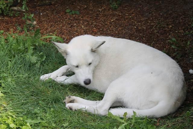 Сонник стая белых собак. к чему снится стая белых собак видеть во сне - сонник дома солнца