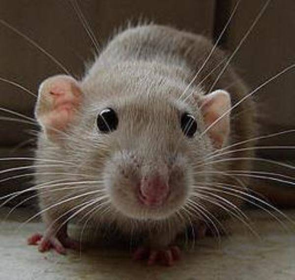 К чему снятся крысы женщине, мужчине: приснилась крыса белая, черная, рыжая, серая, большая и маленькая