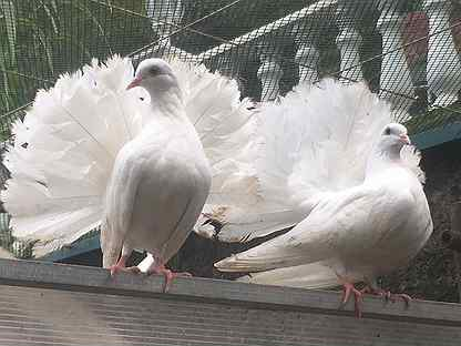 К чему снятся белые голуби