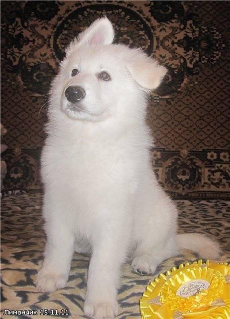 Видеть белую собаку