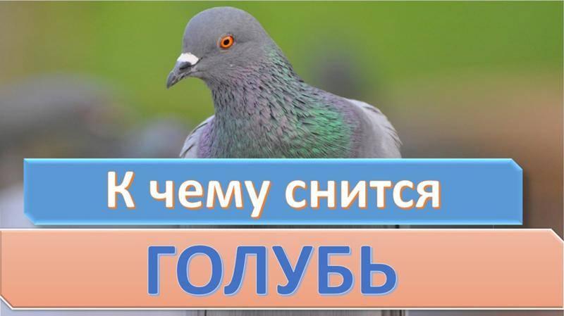 Белый голубь с пятнами