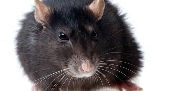 К чему снится белая крыса или много белых крыс? основные толкования: к чему снится белая крыса и разные ситуации с её участием