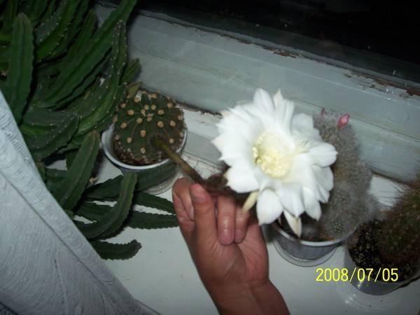 Приметы объясняющие, к чему зацвел кактус