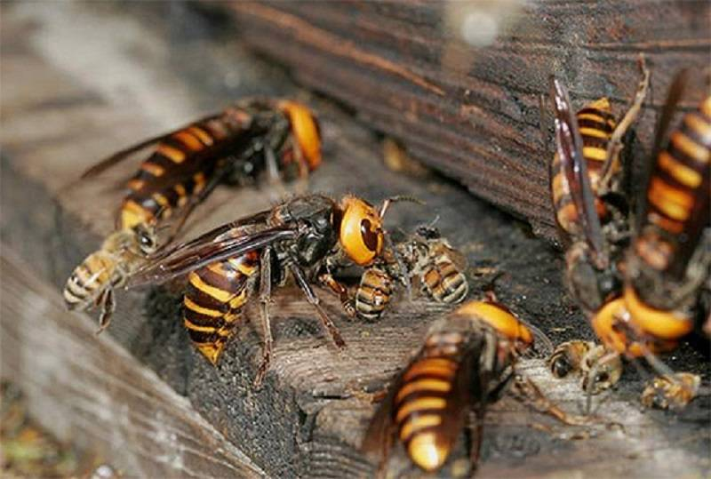 К чему снятся осы: толкование сонника, что означает сон, в котором летает очень много ос?