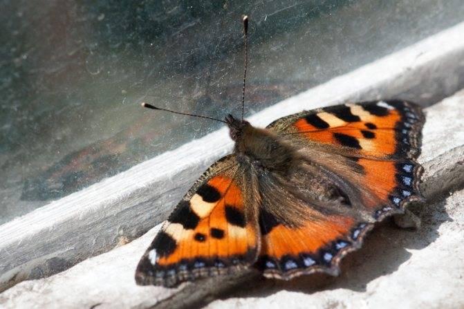 Если бабочка в квартире