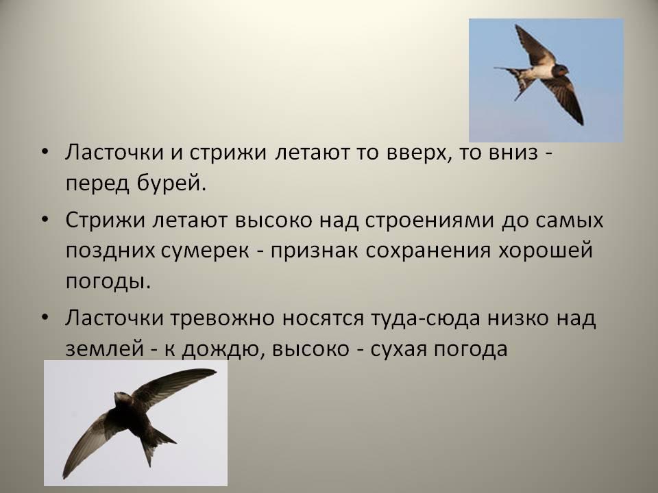 Почему ласточки низко летают перед дождем, объяснение с точки зрения физиков, народные приметы