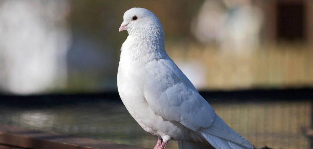 Сонник отпускать белого голубя. к чему снится отпускать белого голубя видеть во сне - сонник дома солнца