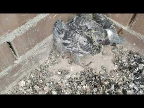 Птица свила гнездо в доме или на балконе: значение приметы