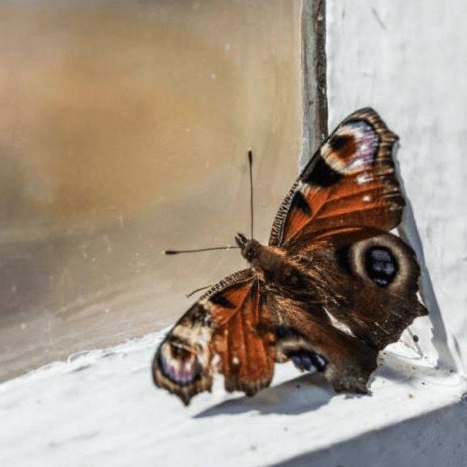 К чему бабочка залетает в дом?