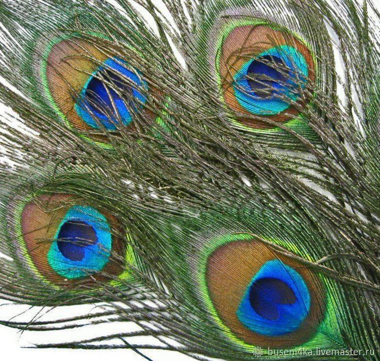Можно ли держать перья павлина в доме