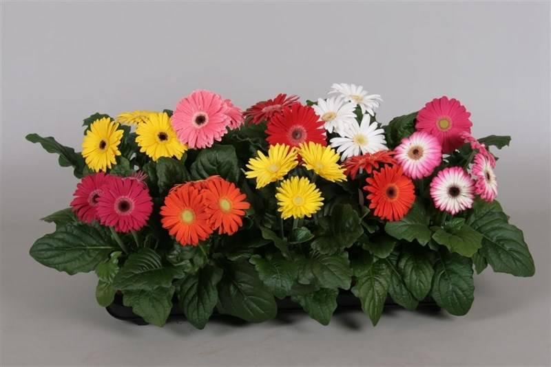 Комнатная гербера: правильный уход за цветком