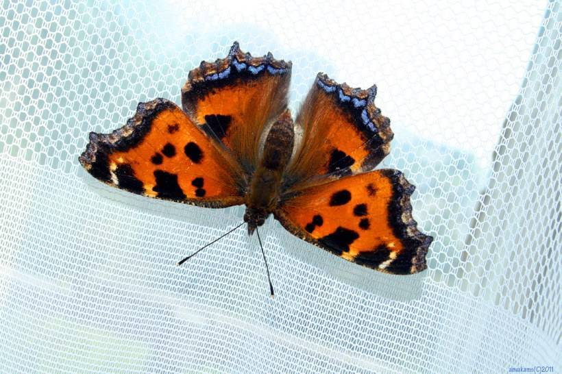 В квартиру залетела бабочка - примета хорошая или плохая? :: syl.ru