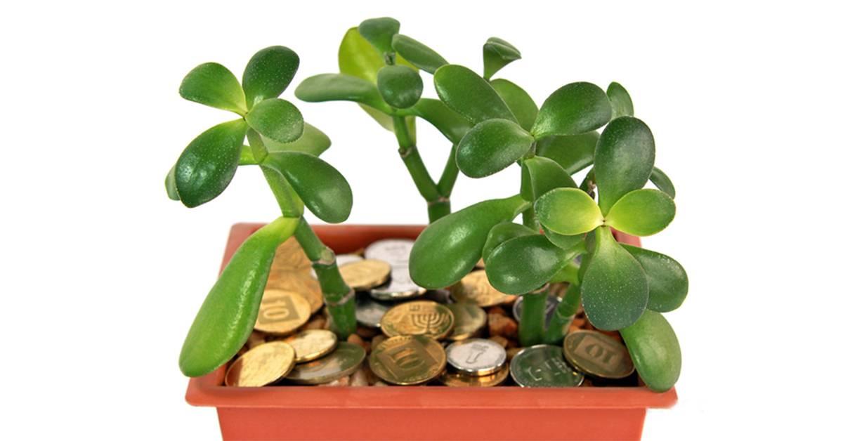 Какие приметы и суеверия о «денежном дереве» (толстянке) вы знаете, можно ли растение держать дома?