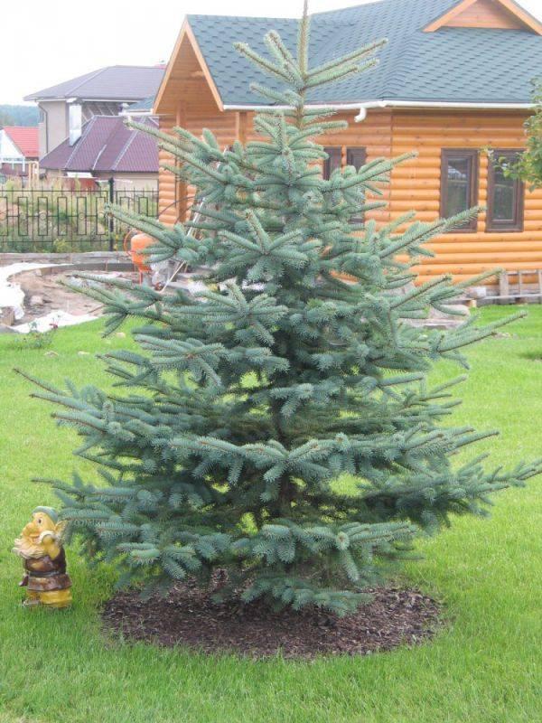 Почему нельзя сажать елки на участке: приметы, связанные с деревом, суеверия и советы по размещению насаждений